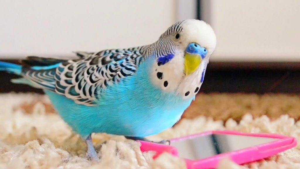 All you need to know about parakeet as pet birds