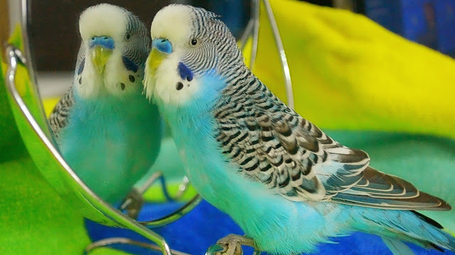interesting facts about budgies - Budgie birds are smart learners, they can speak and mimicry