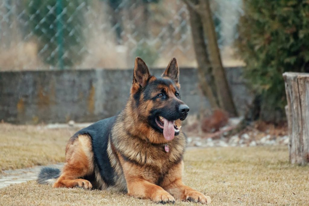 German shepherds are smart learners and easy to train