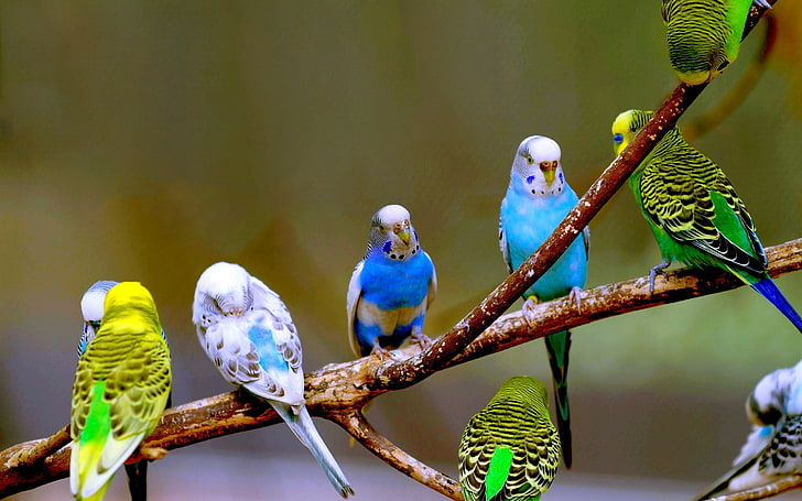 Interesting facts about budgies