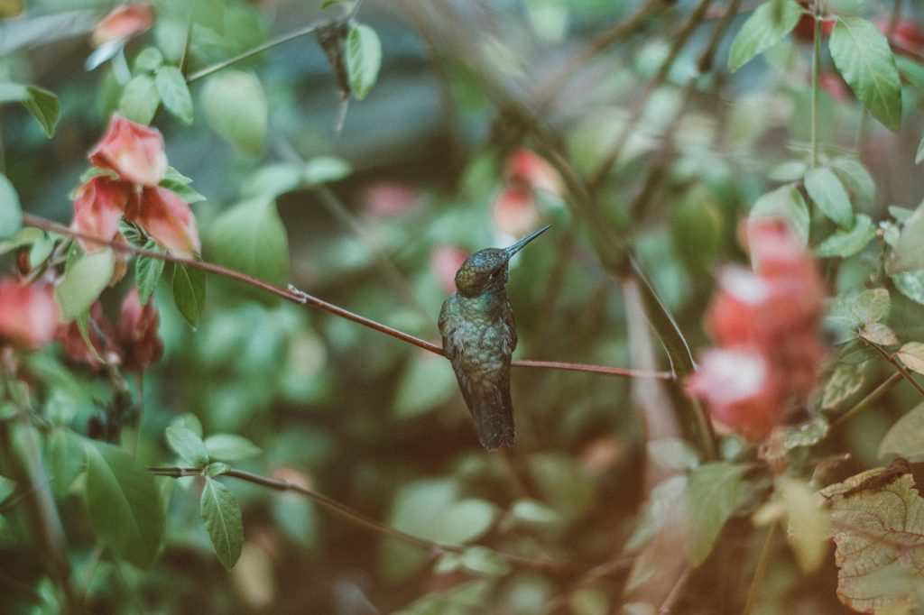 Hummingbirds have no sense of smell; they are attracted by flower colors