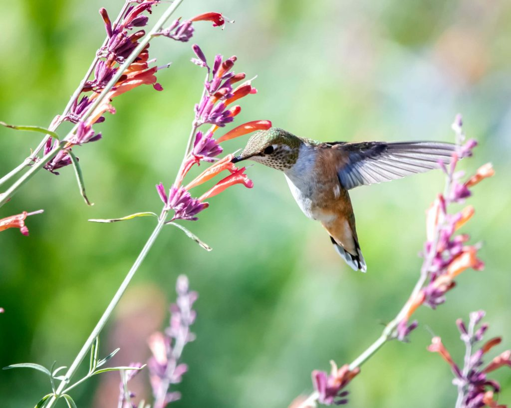 Hummingbirds visit hundreds of flowers daily and they keep a reminder of all