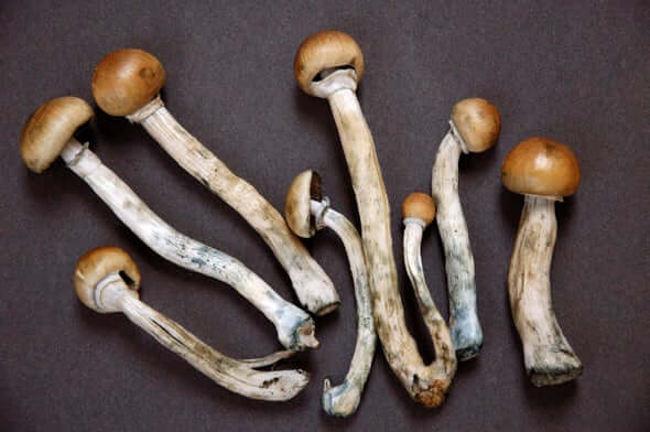 Magic Mushrooms are the wild type of mushrooms that contain psilocybin – a natural psychoactive and hallucinogenic compound.