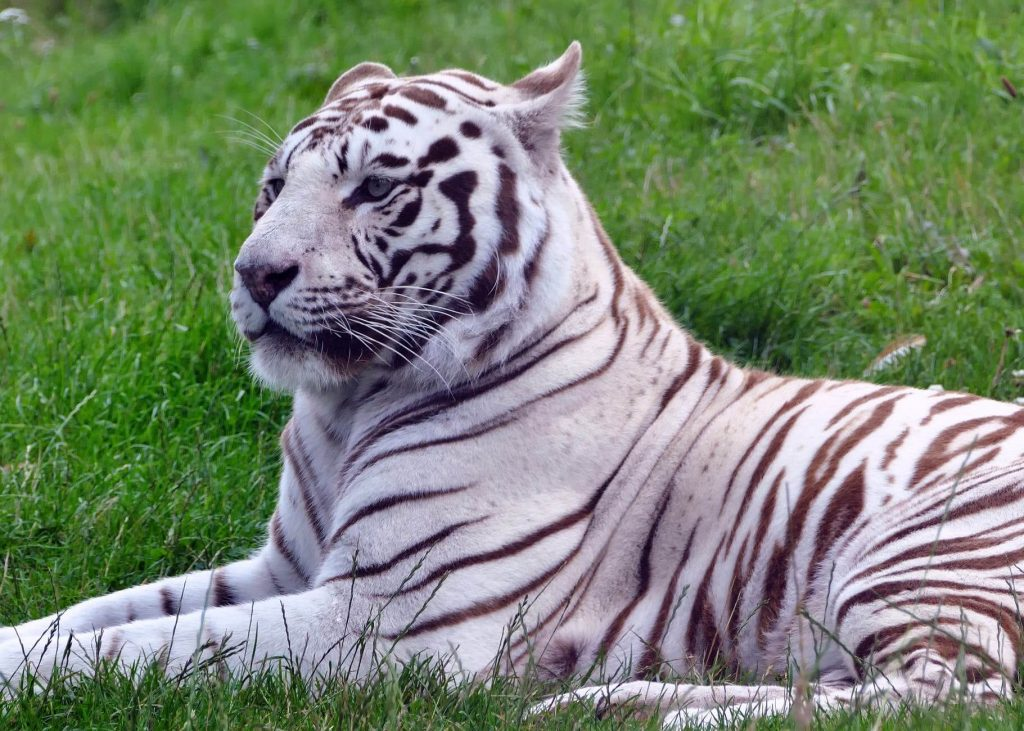 white tigers fur is the result of a recessive gene expression