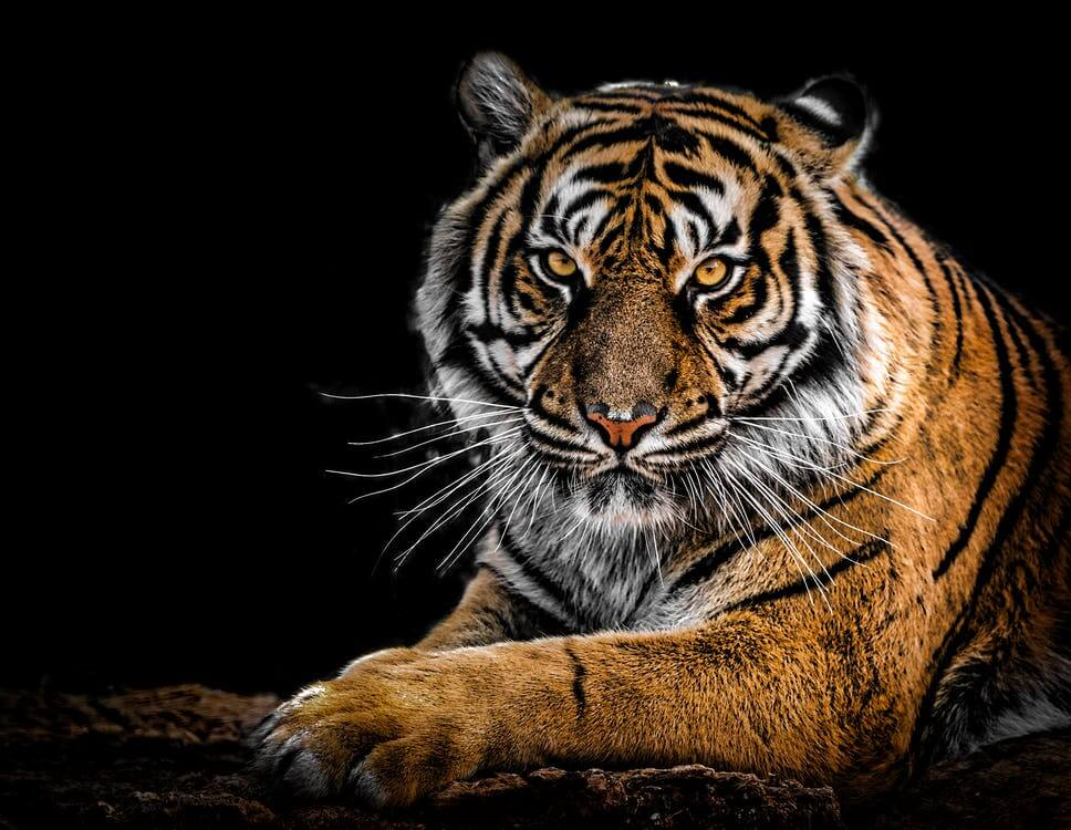 interesting facts about tiger