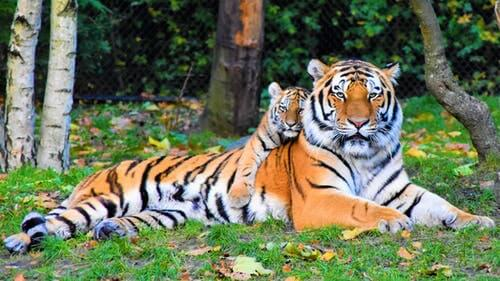 Tigress takes care of its cubs all alone