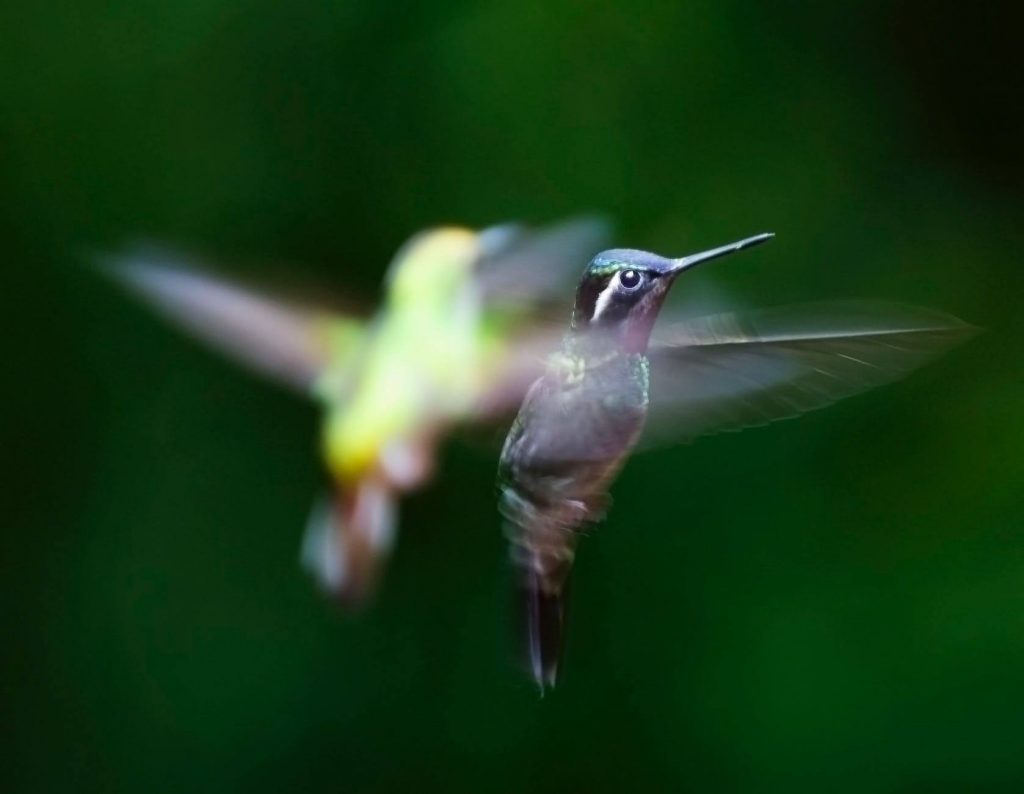 hummingbirds beat their wings 60 to 80 times per second
