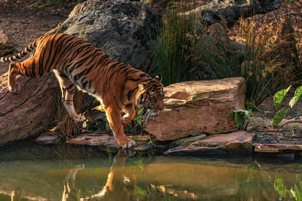 tigers are powerful swimmers and love to swim.