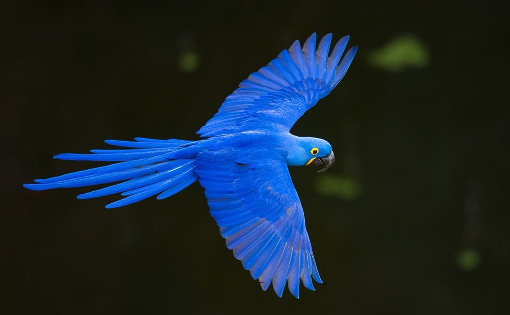 Macaw are fast birds as their average speed can be 56 kph.