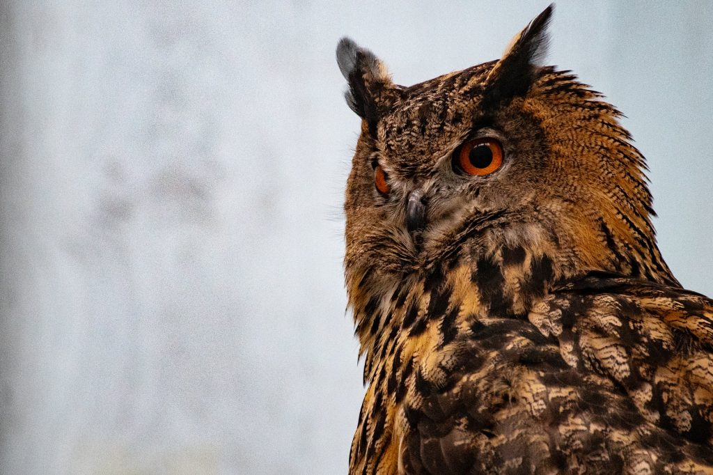owls having dark brown eyes usually prefer to hunt during the night