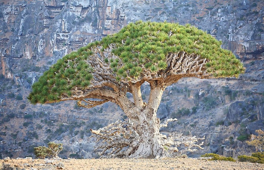 According to International Union for Conservation of Nature (IUCN), several Dracaena species are endangered.
