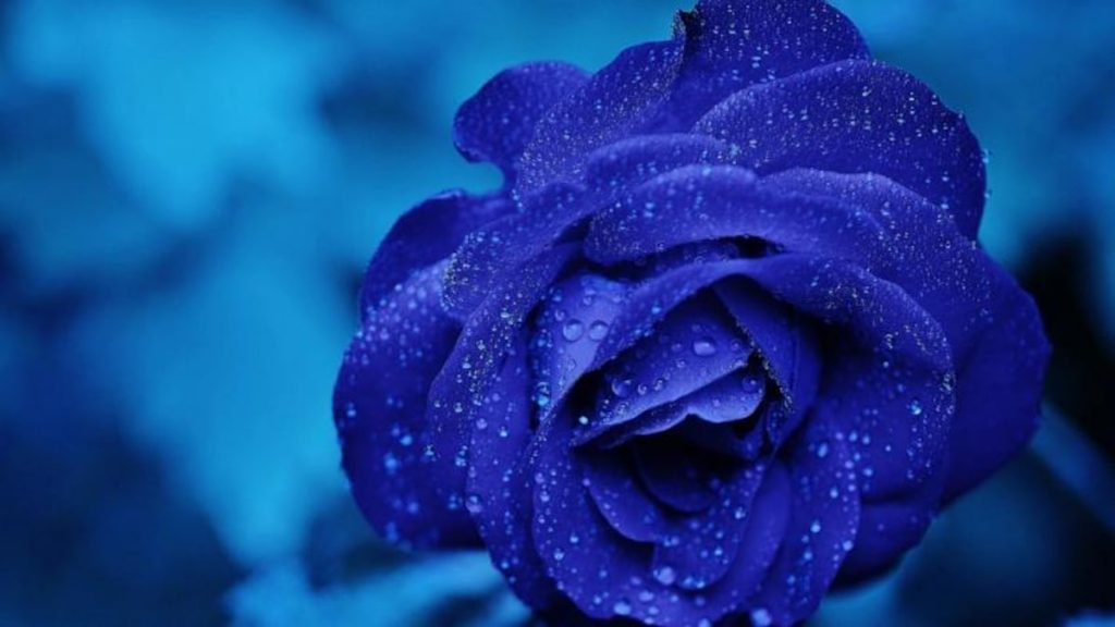 over the course of time, florists devised a technique to produce blue-hued flowers by placing cut roses in dye